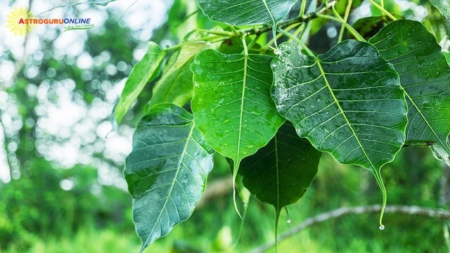 8 Reasons Why You Should Offer Water to Peepal Tree